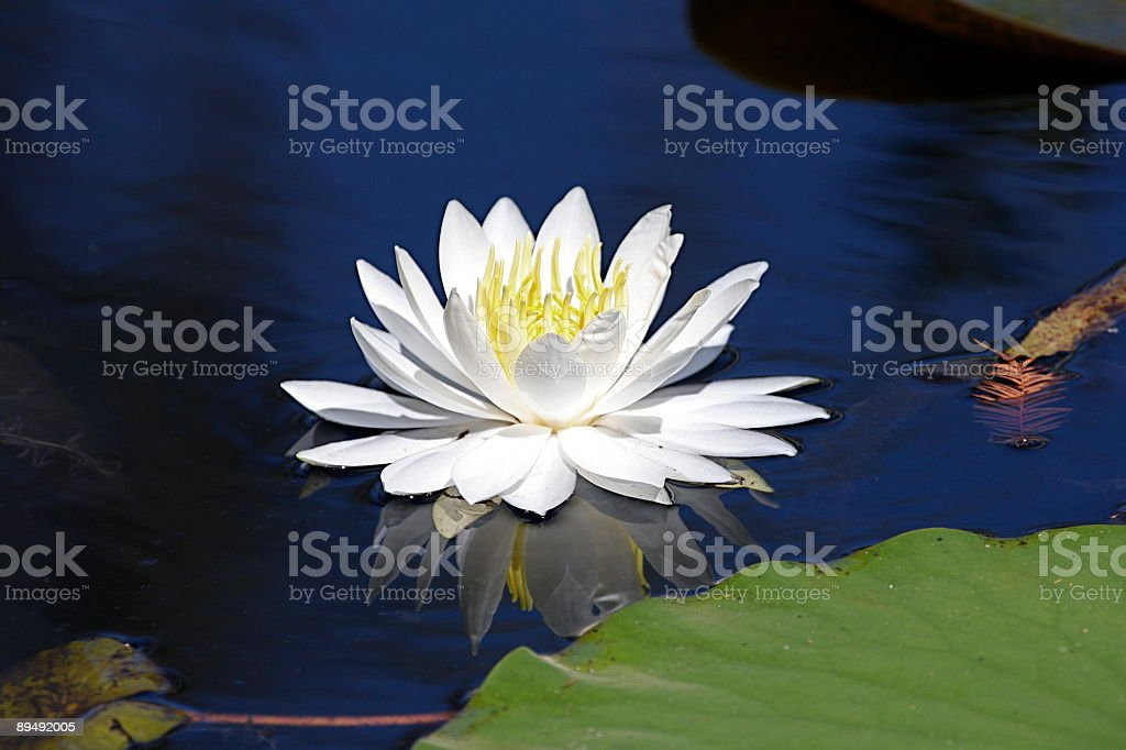 White Water Lily Near Lilly Pad on Blue  Pond  Isolated royalty-free stock photo