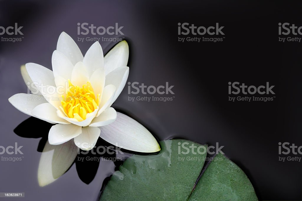 White water lily Nymphaea alba floating in a pond stock photo