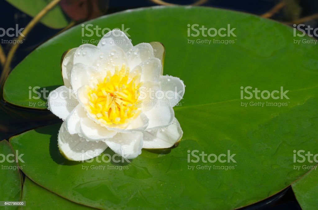 White water Lily on a green leaf stock photo