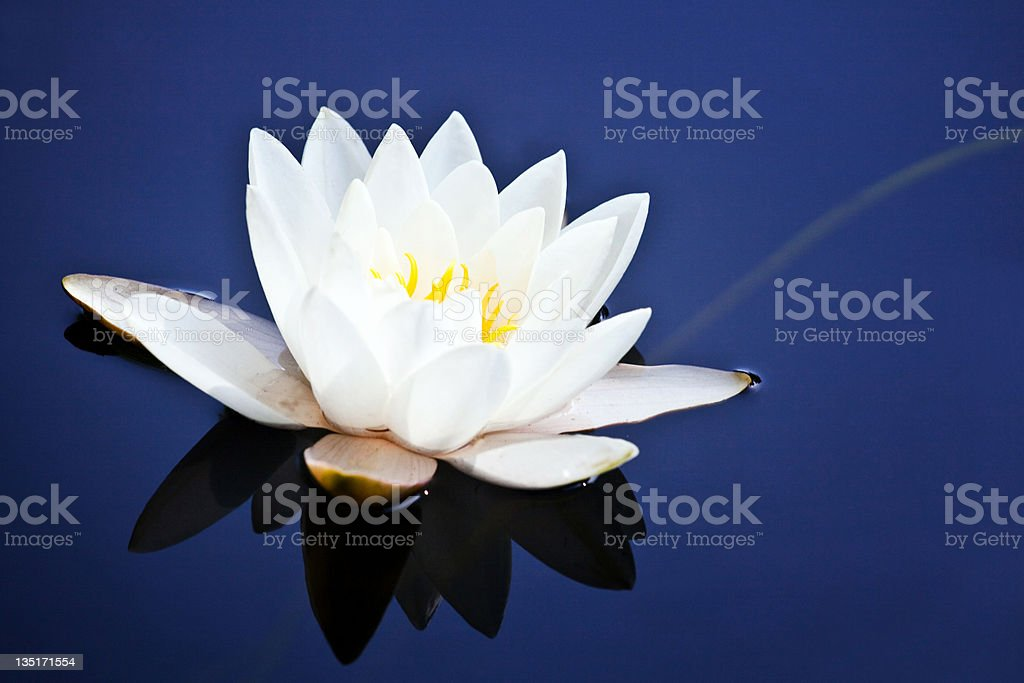 White water lily on blue royalty-free stock photo