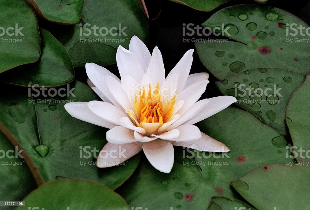 White Water Lily royalty-free stock photo