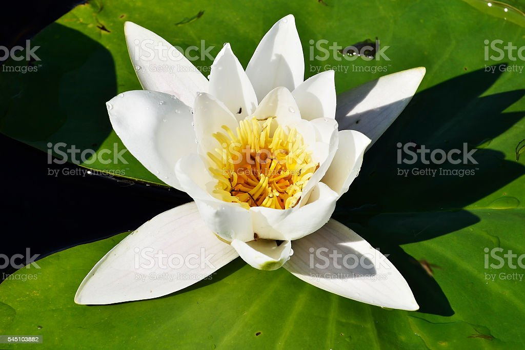 white water lily (Nymphaea alba) stock photo