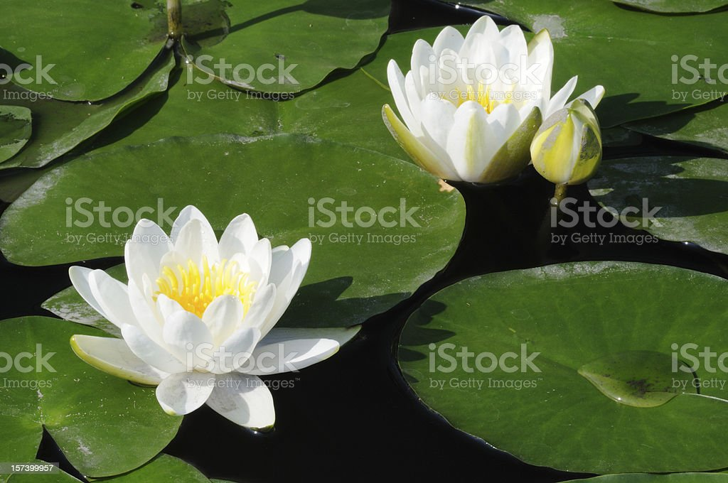 White Water-Lilies royalty-free stock photo