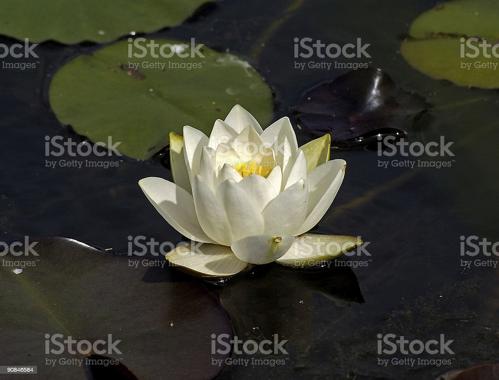 white waterlily on a pond royalty-free stock photo