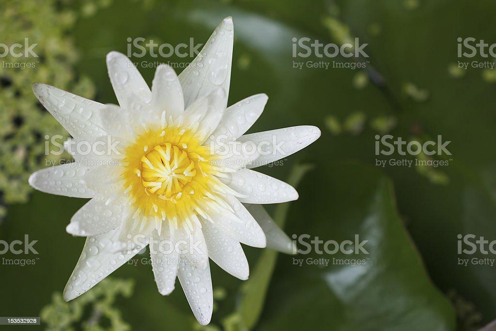 white waterlily royalty-free stock photo