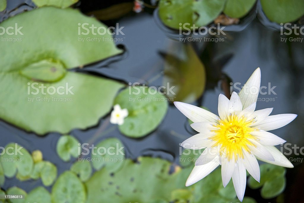 White water-lily royalty-free stock photo
