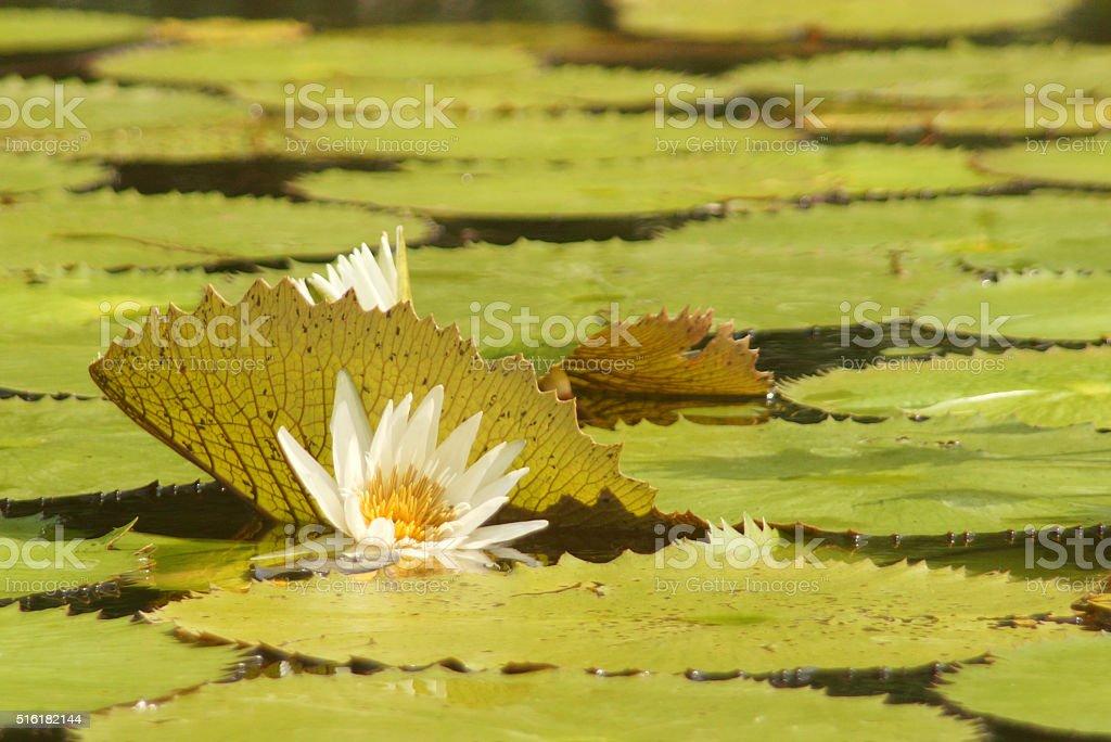 White waterlily stock photo