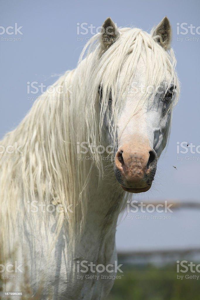 White welsh mountain pony stallion looking at you stock photo