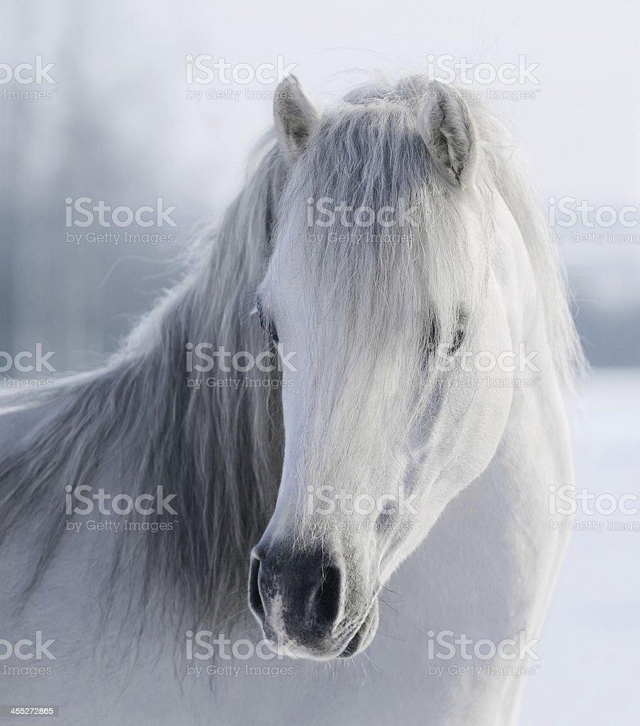 White Welsh pony stock photo
