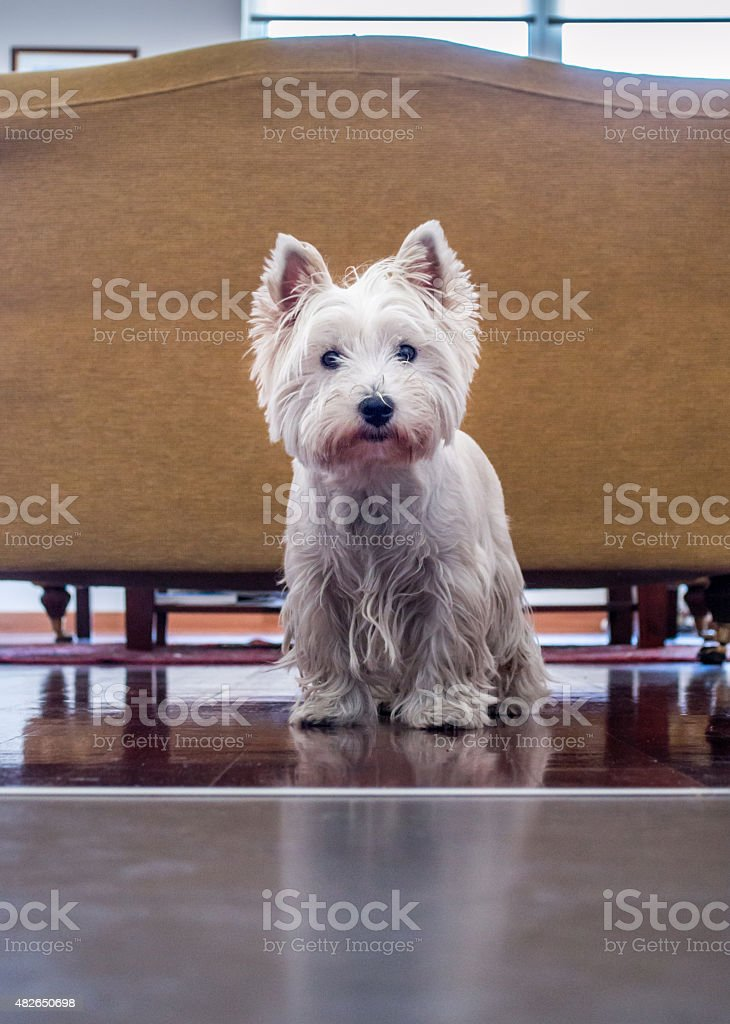 White West Highland Terrier Dog in an Apartment Living Room royalty-free stock photo