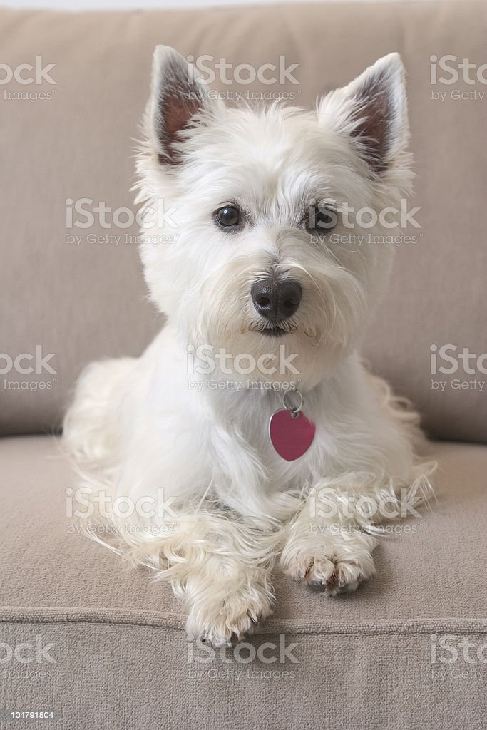 A white West Highland Terrier sitting on a tan couch stock photo