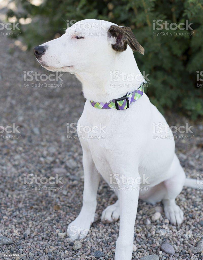 White Whippet Beagle Dog stock photo