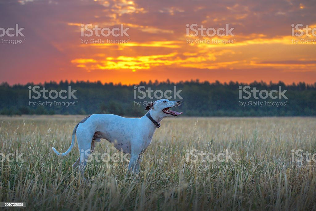 white whippet dog stock photo