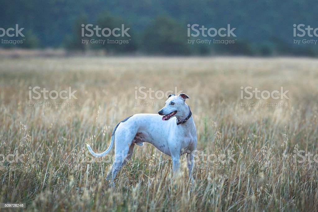 white whippet dog stock photo