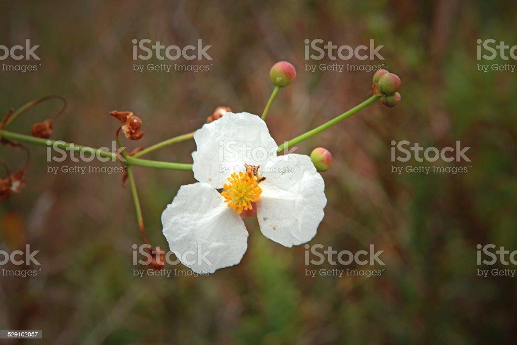 White Wild Flower royalty-free stock photo