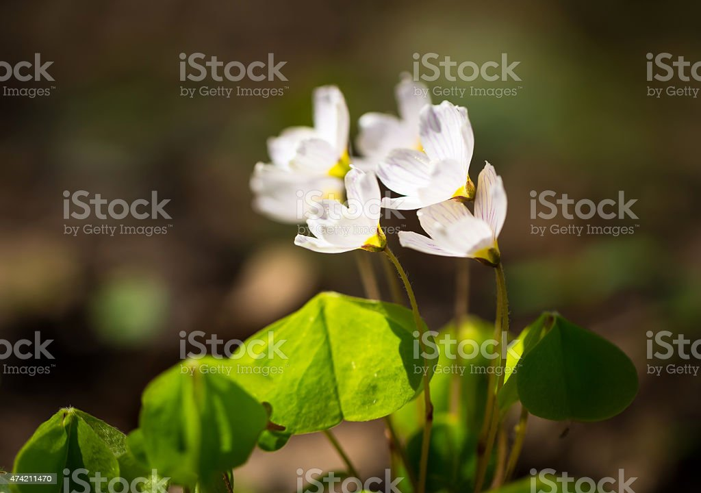White wild flowers blooming. Wood sorrel stock photo