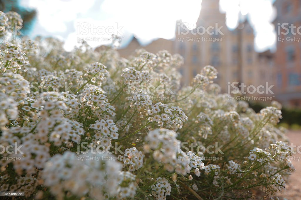 White wild flowers in the sunlight stock photo