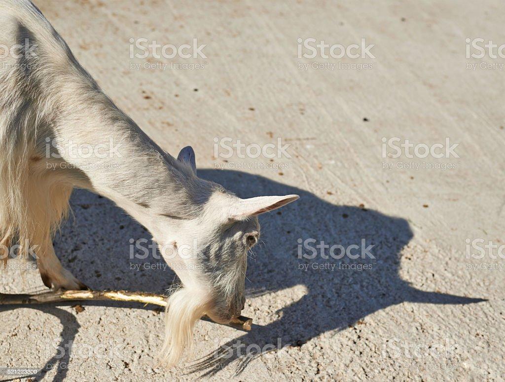 White wild goat stock photo