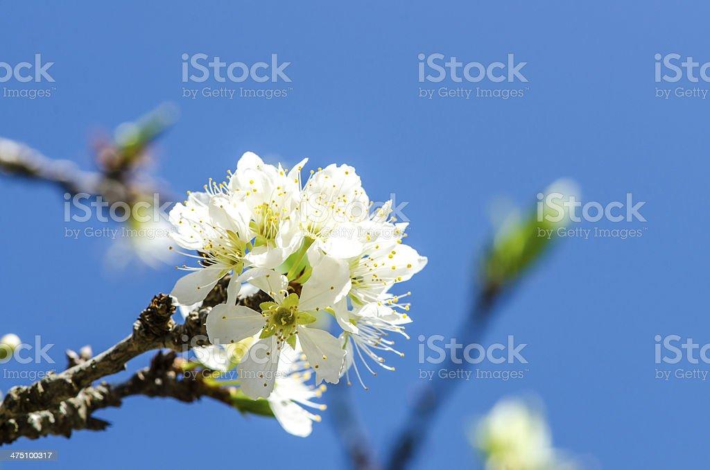 White Wild Himalayan Cherry royalty-free stock photo