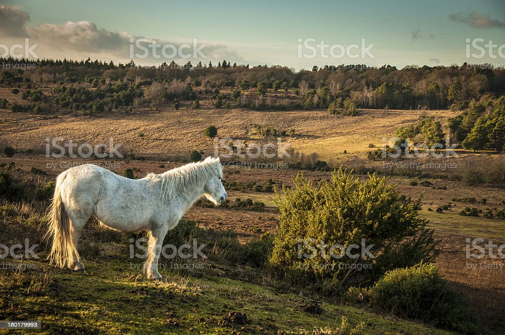 White Wild horse, The New Forest, England stock photo