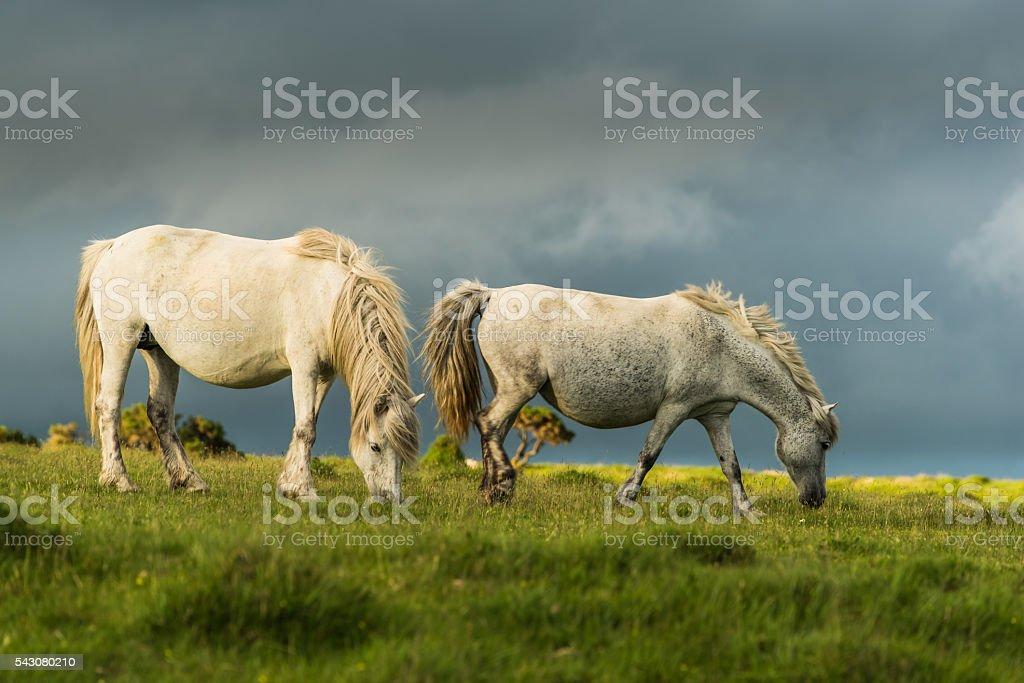white wild horses couple stock photo