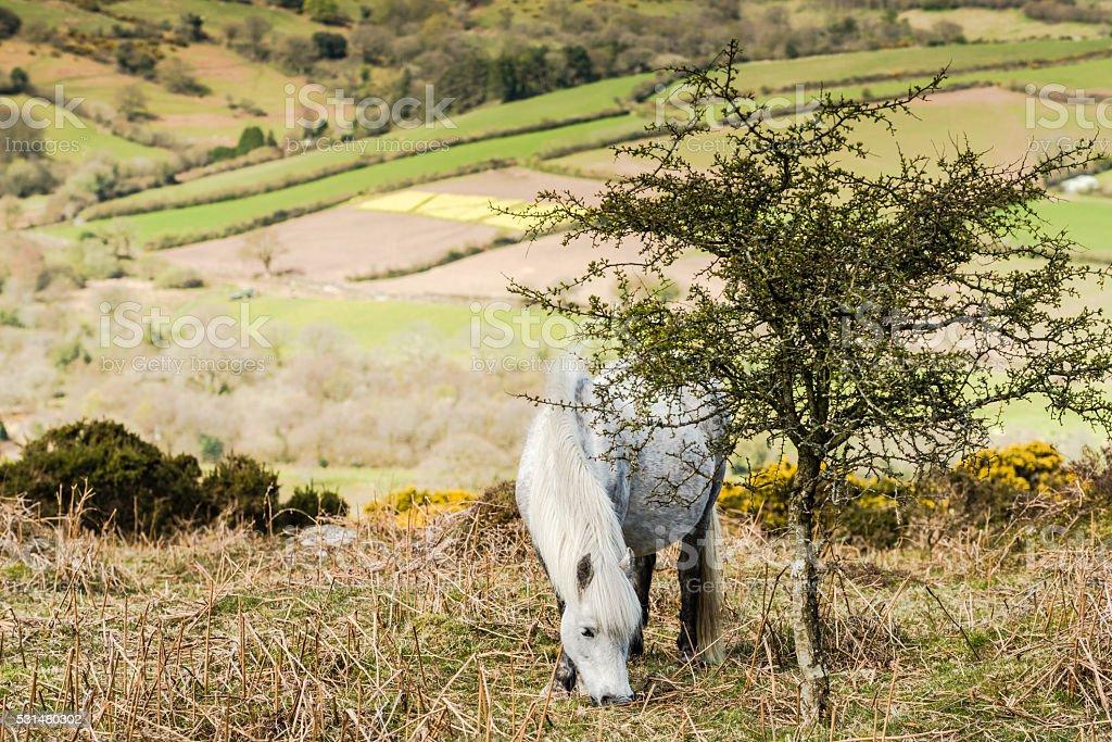 White wild pony grazing stock photo
