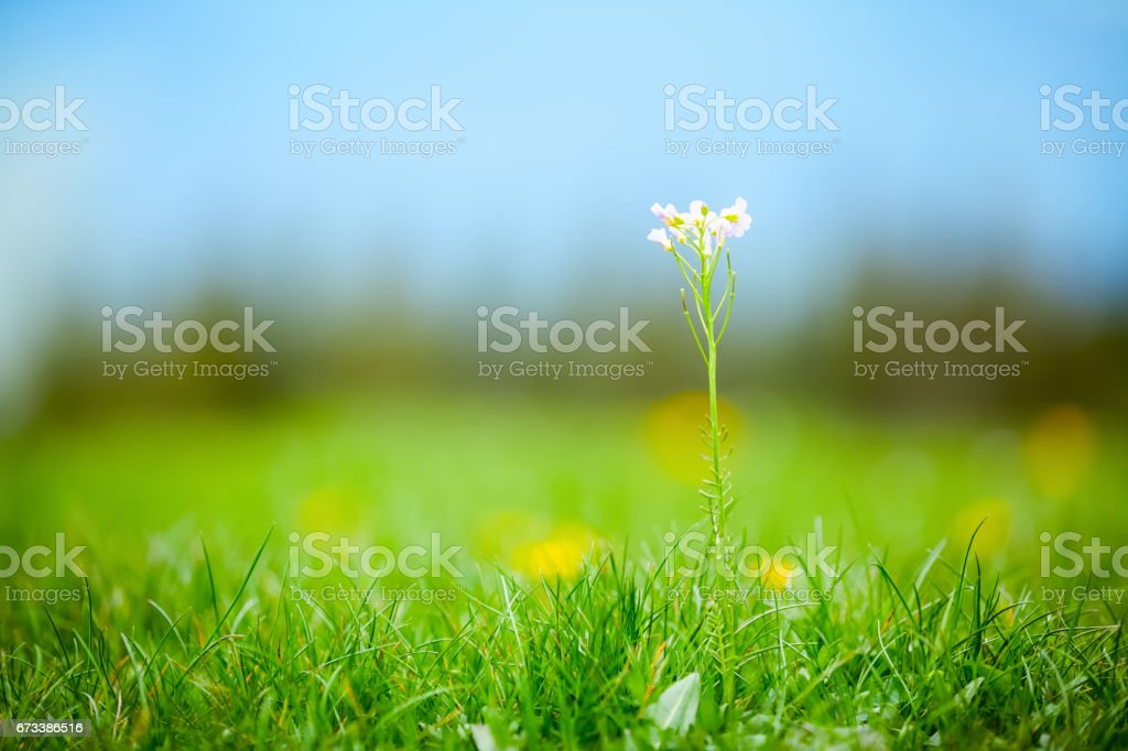 White wild primrose on a long stem, among green lawns, against the yellow-blue background on a summer day. stock photo