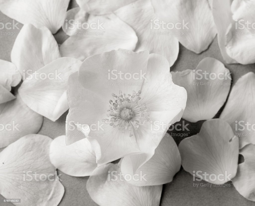White wild rose flower on a background of fallen petals stock photo