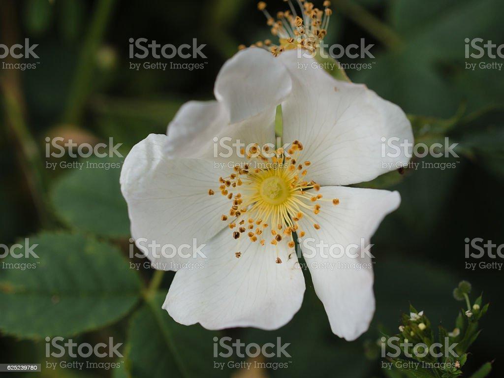 White wild rose stock photo