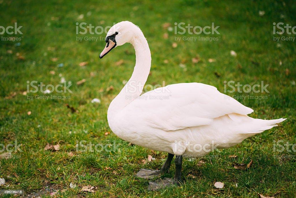 White wild swan bird on green grass stock photo