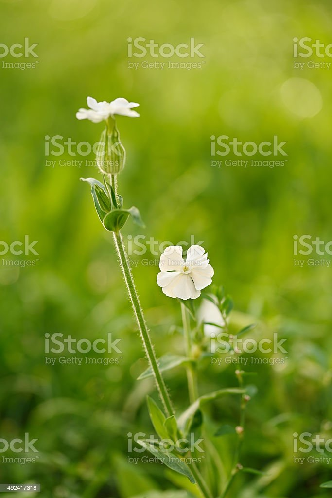 White wildflower bloom in the field stock photo