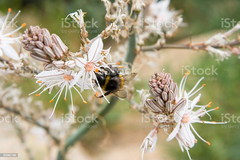 white wildflower with a honey bee royalty-free stock photo