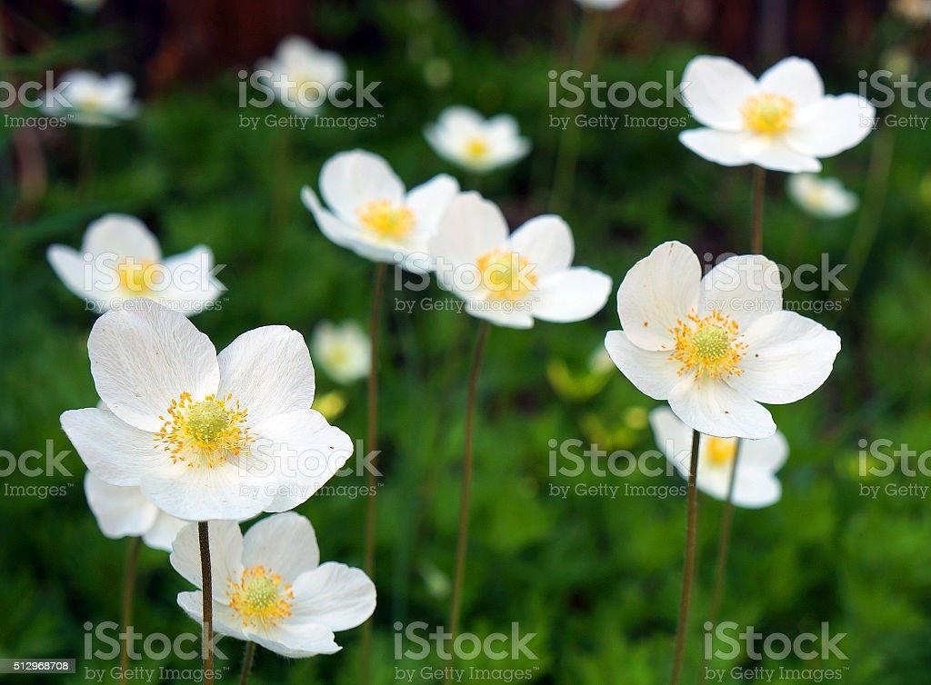 White wildflowers stock photo