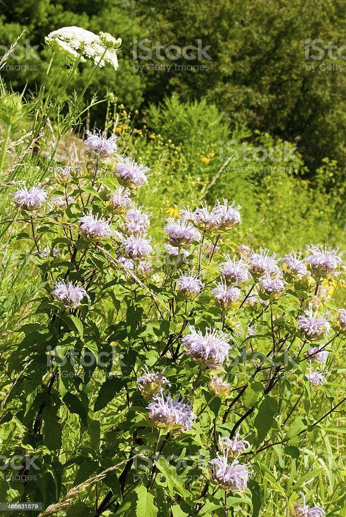 White Wildflowers Tall grass Prairie Reserve West Branch Iowa stock photo