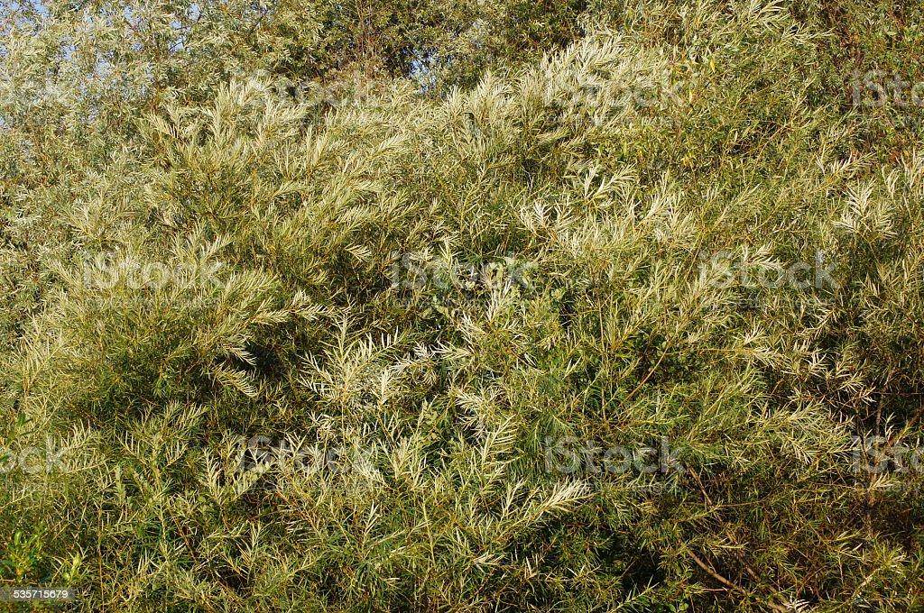 White willow (salix alba). stock photo