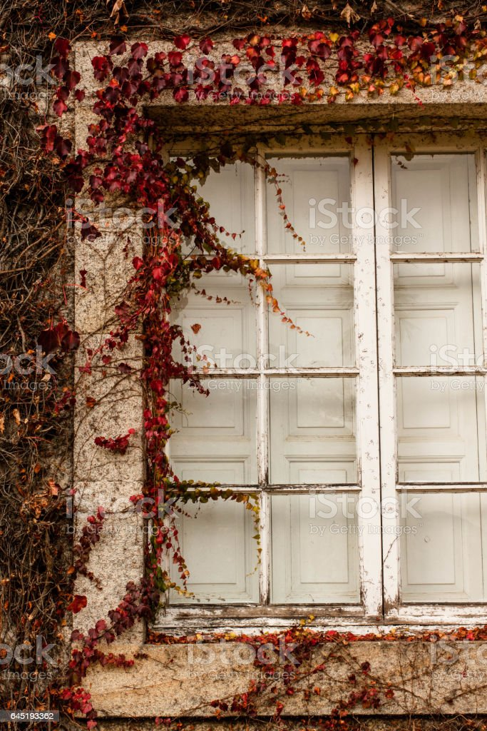 white window frame with autumn red ivy stock photo