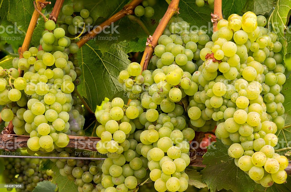 White Wine Grape Clusters on the Vine stock photo