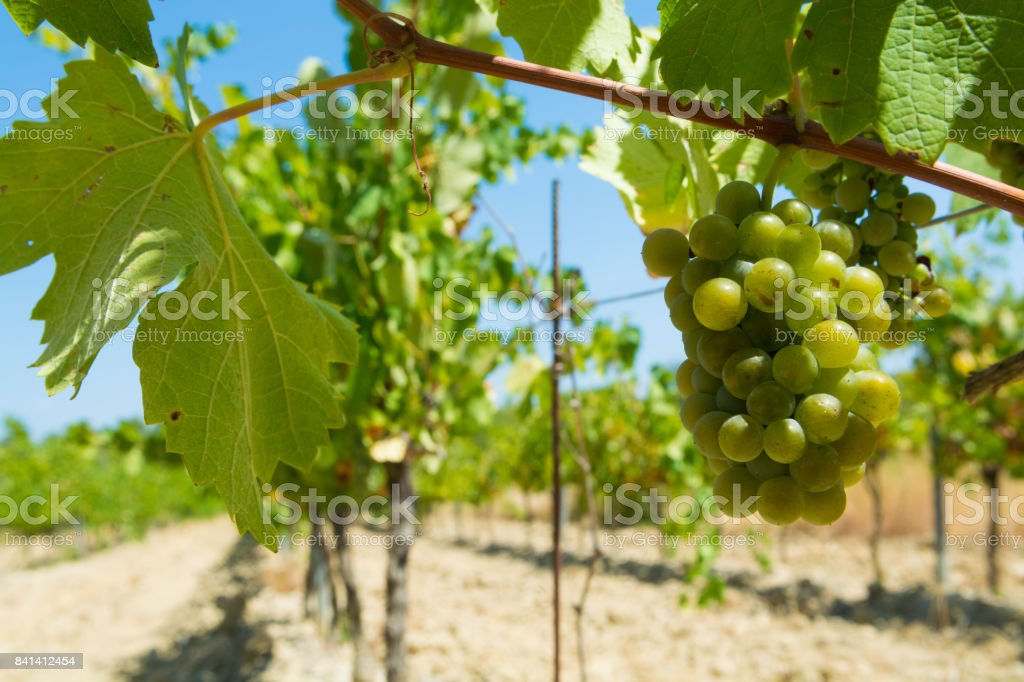 White wine grape riping in the south french vineyards, Provence stock photo
