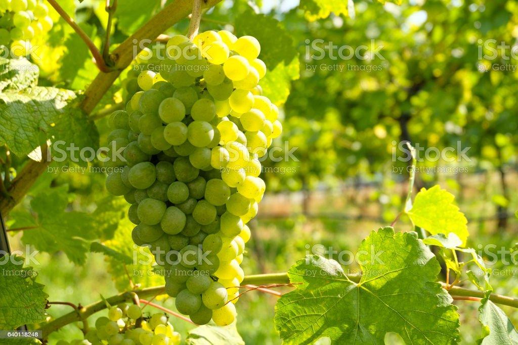 White Wine grapes in the famous Wachau (Spitz), Lower Austria stock photo