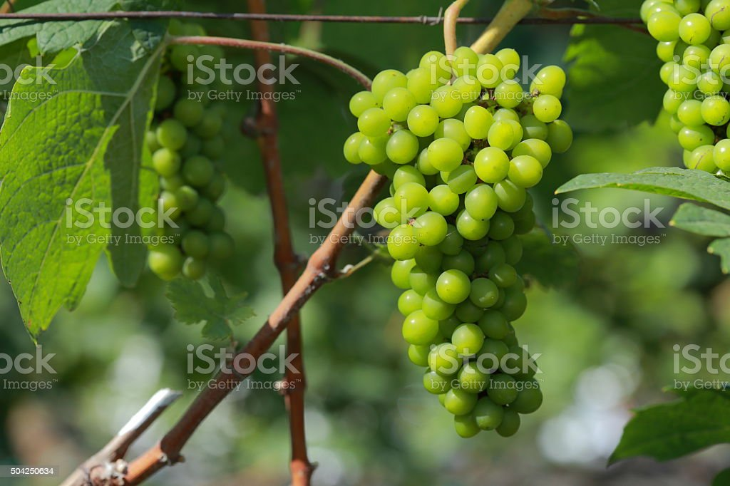 White wine grapes in vineyard on a sunny day 1 stock photo