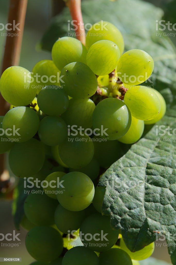 White wine grapes in vineyard on a sunny day 10 stock photo