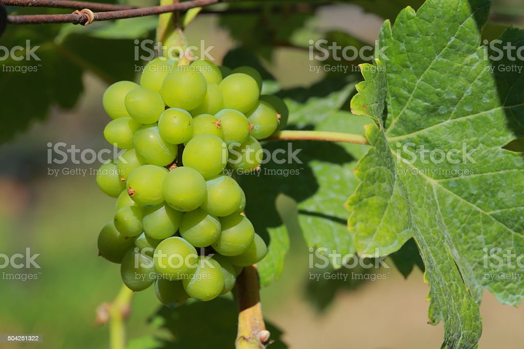 White wine grapes in vineyard on a sunny day 11 stock photo