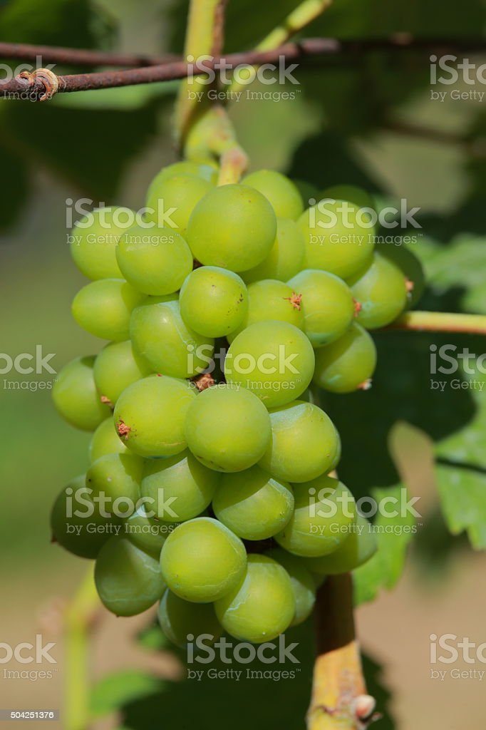 White wine grapes in vineyard on a sunny day 12 stock photo