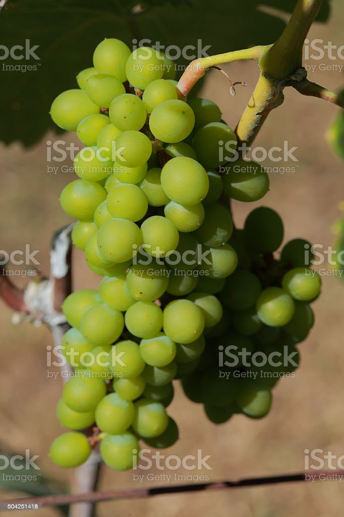 White wine grapes in vineyard on a sunny day 13 stock photo