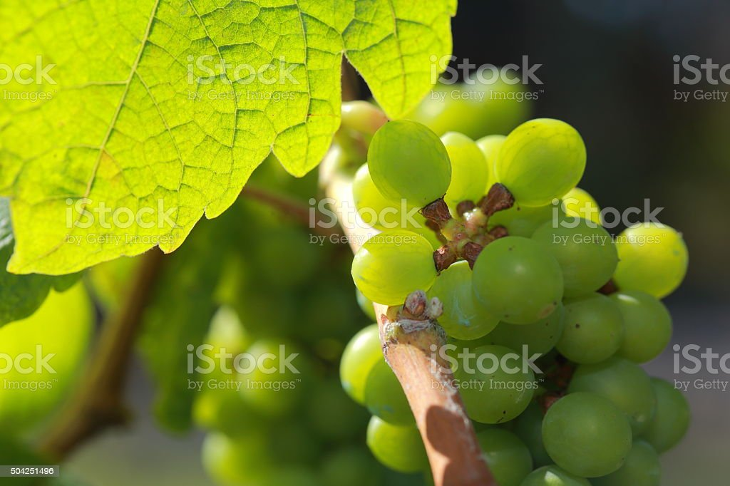 White wine grapes in vineyard on a sunny day 14 stock photo