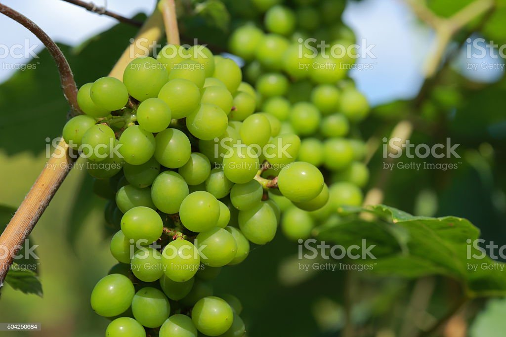 White wine grapes in vineyard on a sunny day 2 stock photo