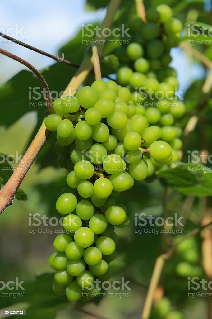 White wine grapes in vineyard on a sunny day 3 stock photo
