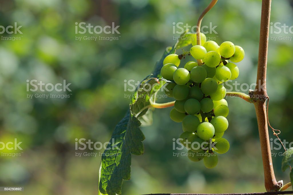 White wine grapes in vineyard on a sunny day 5 stock photo