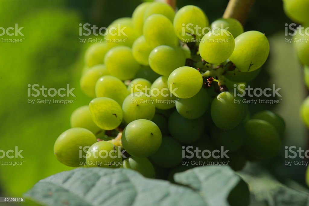 White wine grapes in vineyard on a sunny day 8 stock photo