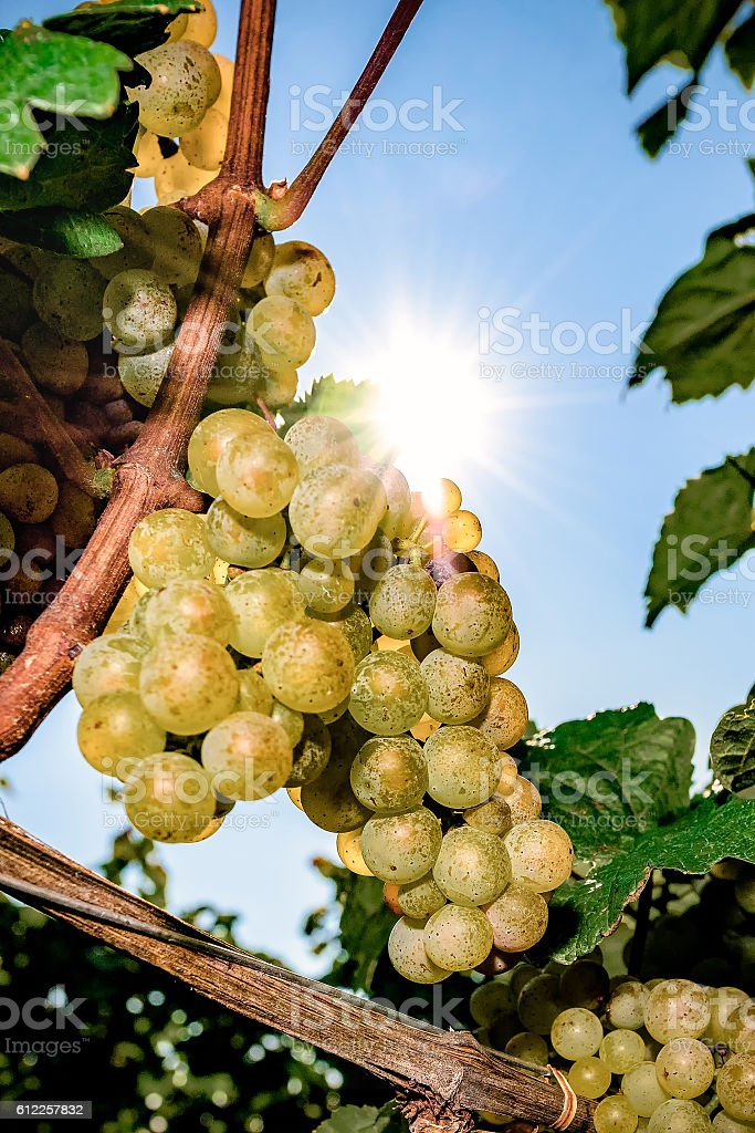 White wine grapes in vineyard on a sunny day stock photo